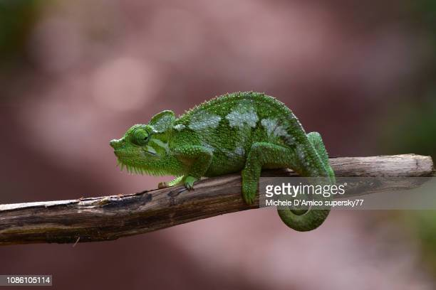 trioceros hoehnelli, commonly known as von höhnel's chameleon, helmeted chameleon, and high-casqued chameleon - east african chameleon stock pictures, royalty-free photos & images
