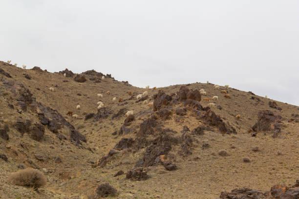 A trip of goats freely grazes in Gobi desert of Mongolia