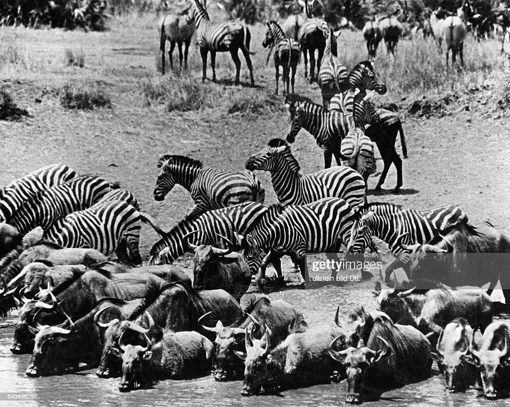 Berühmt Zebra Druckvorlage Bilder - Beispielzusammenfassung Ideen ...