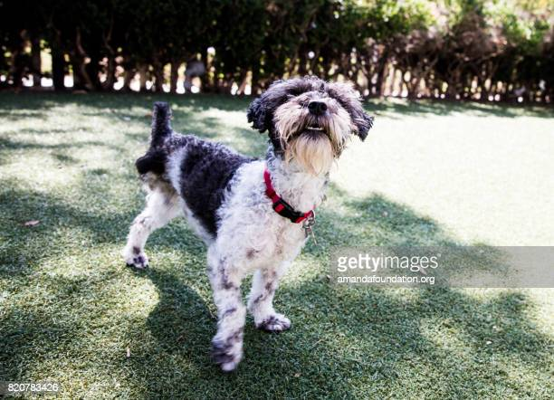 Tripod Poodle-Schnauzer Mix at a Park - The Amanda Collection