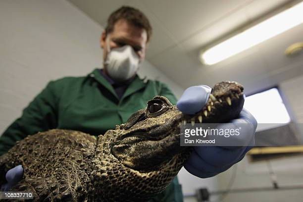 Triston Bradfield holds a West African Dwarf Crocodile at Heathrow Airport's Animal Reception Centre on January 25 2011 in London England Many...