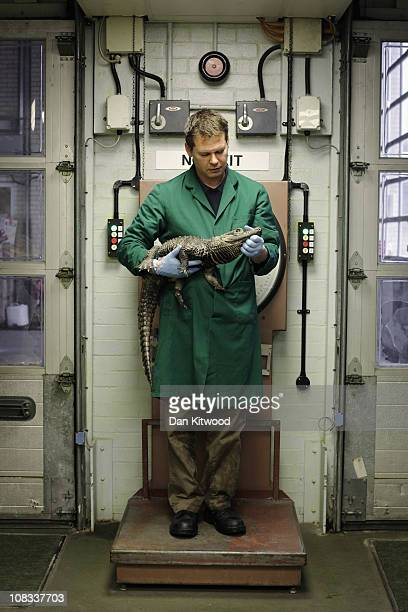 Triston Bradfield weighs a West African Dwarf Crocodile at Heathrow Airport's Animal Reception Centre on January 25 2011 in London England Many...
