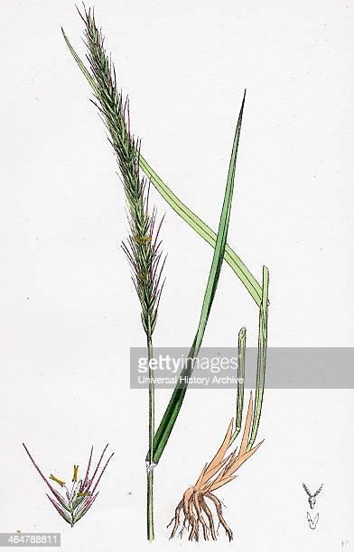 Triticum caninum Wood Couchgrass