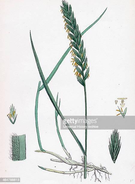 Triticum eurepens Common Couchgrass