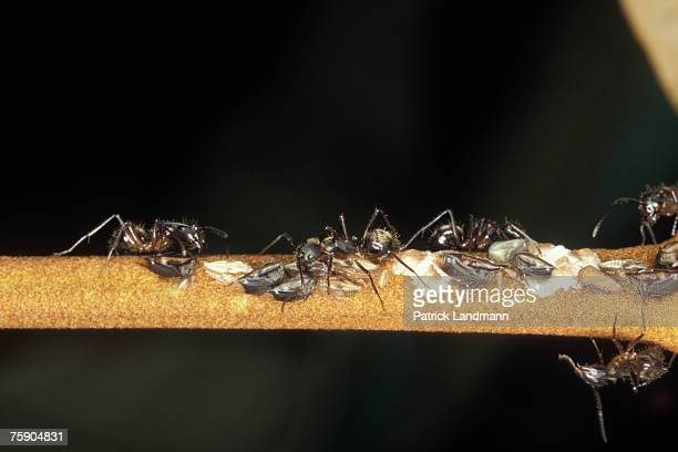 Tritropidia bifenestrata Its larva are babied by ants from the species Dolichoderus bispinosus Mutualistic associations are very complex and...
