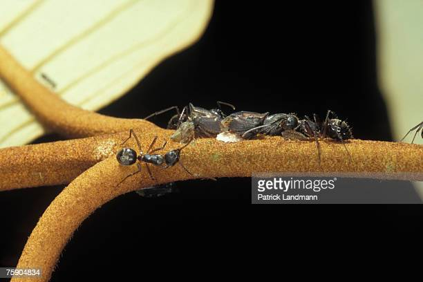Tritropidia bifenestrata Larva are babied by ants from the species Dolichoderus bispinosus Mutualistic associations are very complex and...