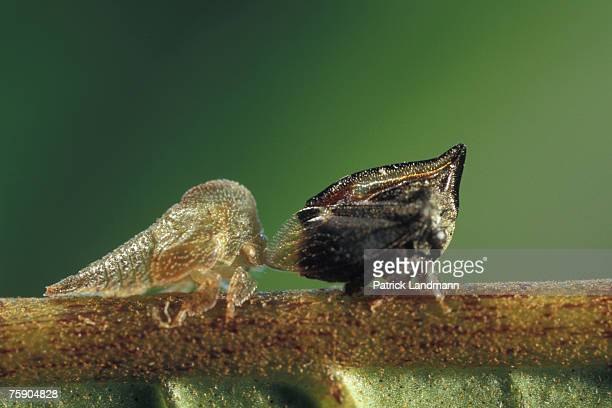 Tritropidia bifenestrata with its larva The astonishing biodiversity of our planet is the result of a perpetual evolution where biological species...