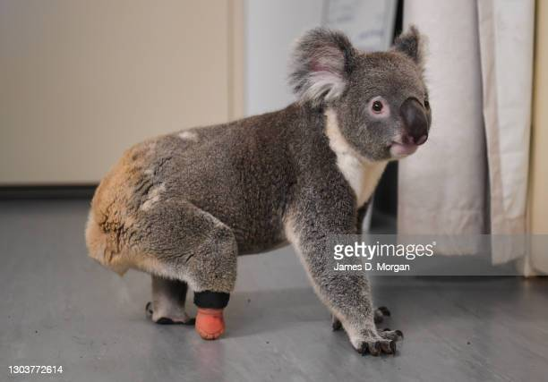 Triumph the koala exploring the vet clinic at Friends of the Koala with his new prosthetic limb attached to his right foot on February 24, 2021 in...