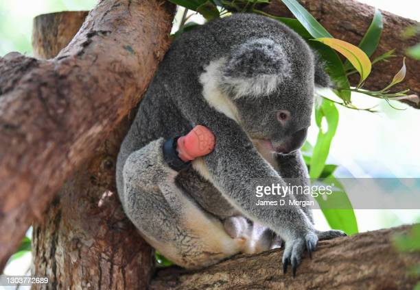 Triumph the koala sits in his enclosure with his new prosthetic limb attached to his right foot on February 24, 2021 in Lismore, Australia. Triumph...