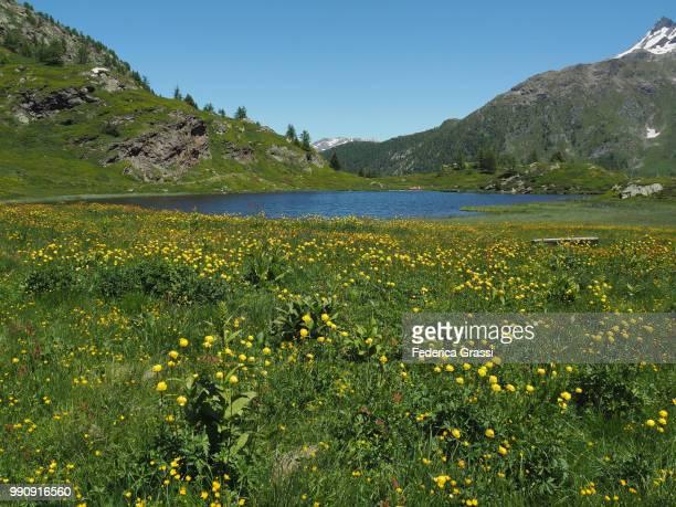 Trollius Europaeus Flowering At Simplon Pass