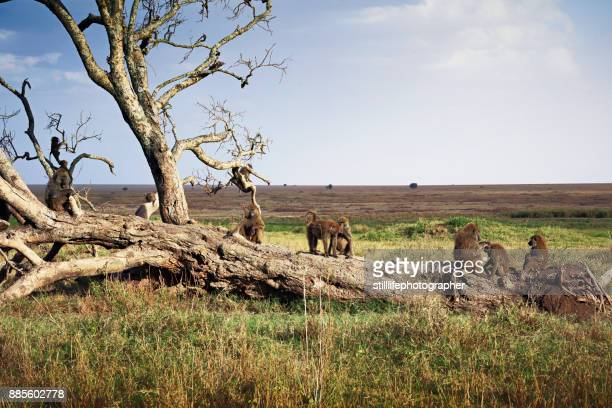 Troop of baboons resting on fallen tree in Serengeti National Park, Tanzania
