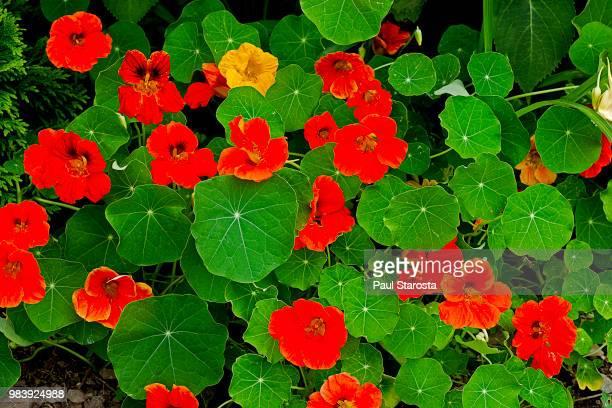 tropaeolum (nasturtium) - nasturtium stock pictures, royalty-free photos & images