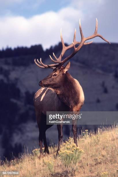 trophy bull elk on ridge - wapiti foto e immagini stock