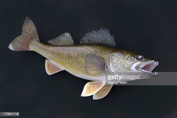trophy walleye - pike fish stock pictures, royalty-free photos & images