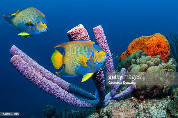 tropical angelfish on coral reef with sponges - ボネール島 ストックフォトと画像