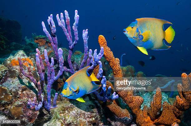 tropical angelfish swimming past sponges - ボネール島 ストックフォトと画像