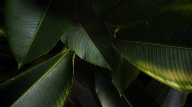 Tropical Banana Leaf Texture, Abstract Green Leaf, Large Palm Foliage Nature Dark Green Background