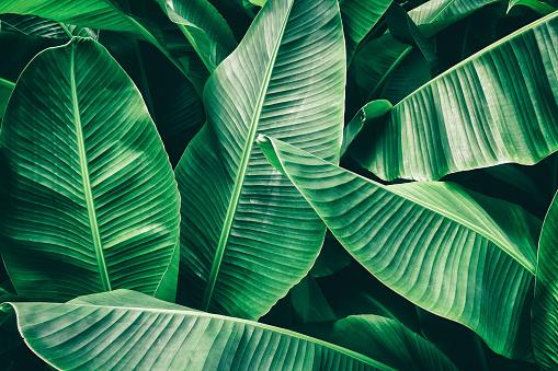 tropical banana palm leaf 903532512