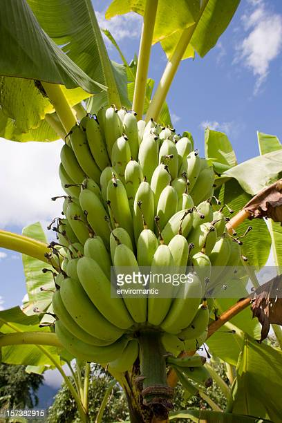 Tropische Bananen.