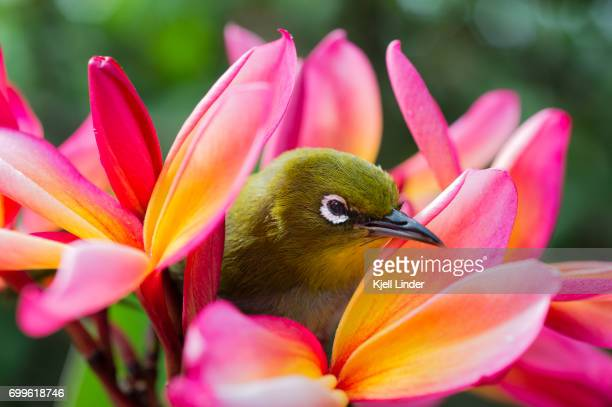 tropical bird amongst pink flowers - pacific islands stock pictures, royalty-free photos & images