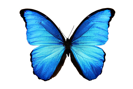 tropical blue butterfly isolated on white 887358286