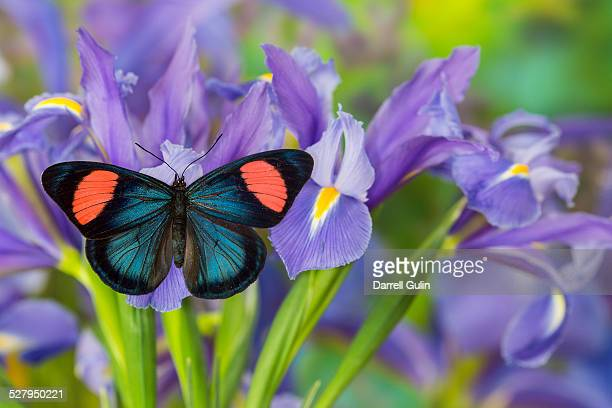 Tropical butterfly on blue iris