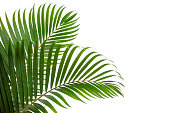 tropical coconut leaf isolated on white background
