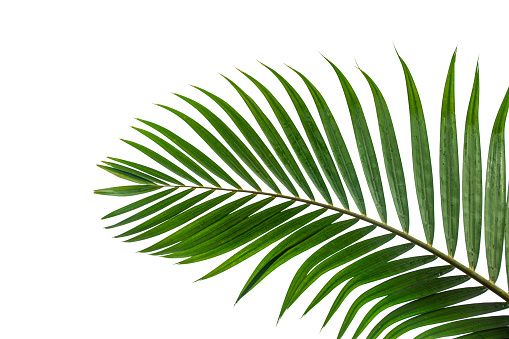 tropical coconut leaf isolated on white background 1181140743