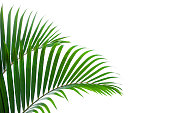tropical coconut leaf isolated white background