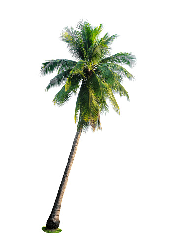 tropical coconut palm tree isolated on white 942470340