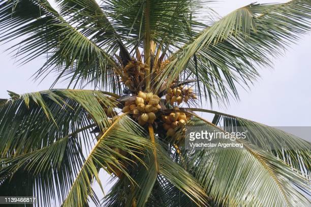 tropical coconut palm tree with coconuts, sri lanka - argenberg fotografías e imágenes de stock