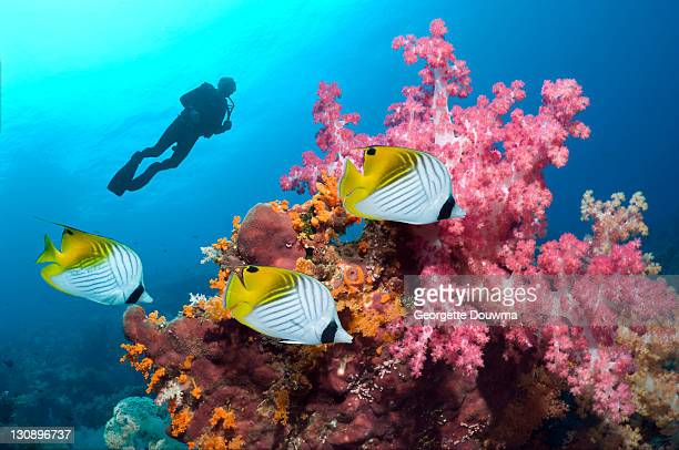 Tropical coral reef fish and diver