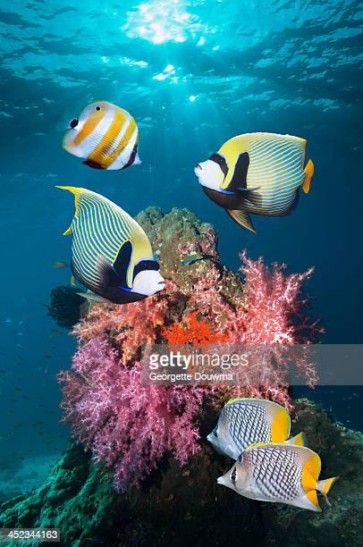Tropical coral reef fish