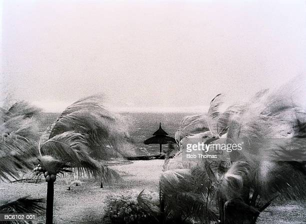 Tropical cyclone blowing coconut palms on beach, Mauritius (B&W)
