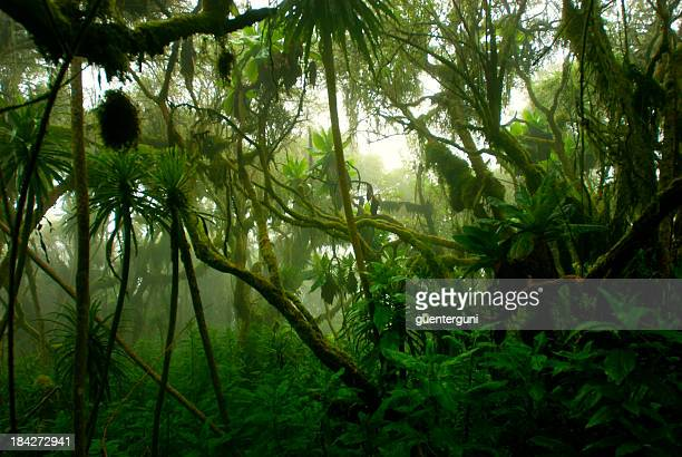 tropical denso cloud forest coverd en niebla, África Central