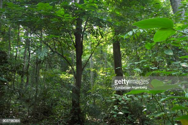 Tropical evergreen forest jungle, Havelock island, Andaman and Nicobar islands