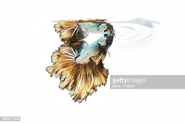 Tropical fish against white background
