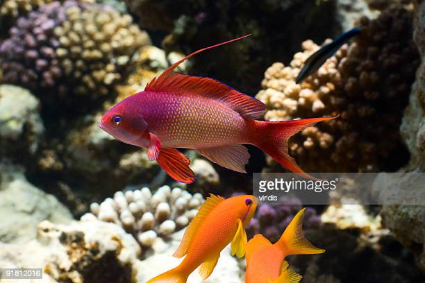 tropical fish anthias - redfish stock photos and pictures