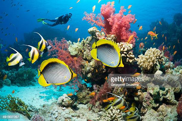 Tropical fish over coral reef with a scuba diver