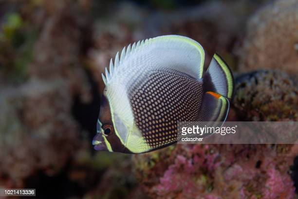 tropical fish - cdascher stock pictures, royalty-free photos & images