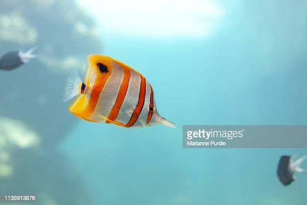tropical fish - domestic animals stock pictures, royalty-free photos & images