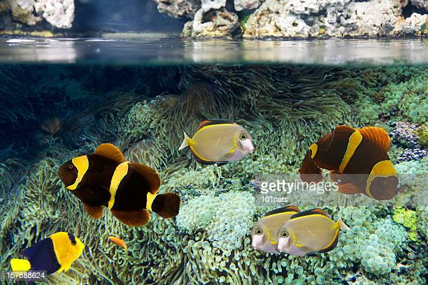 tropical fish - damselfish stock photos and pictures