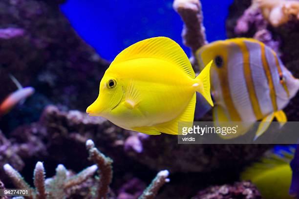 Tropical Fish Yellow Tang