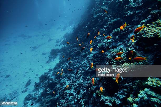 tropical fishes swimming near colorful corals - couleur corail photos et images de collection