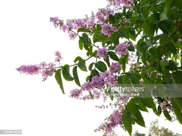 tropical flower, purple flowers of bungor. (scientific name lagerstroemia floribunda jack. ) - purple roses bouquet ストックフォトと画像