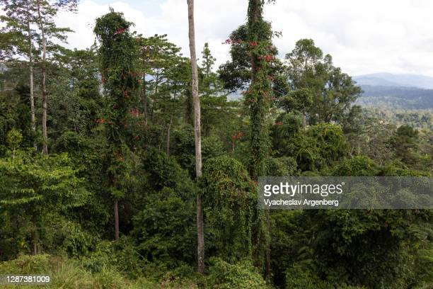 tropical forest in maliau basin, sabah, borneo, malaysia - argenberg stock pictures, royalty-free photos & images