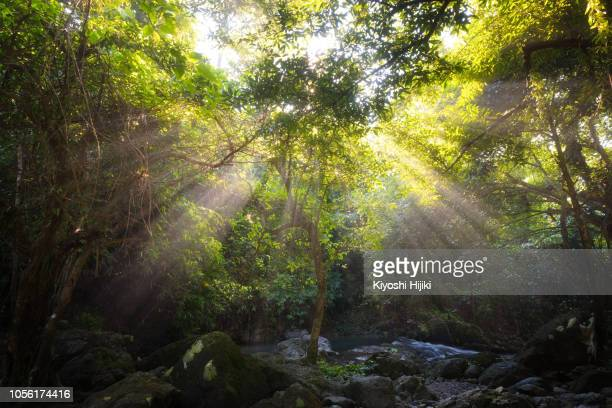 tropical forest scene in morning with sun beam - tropical tree - fotografias e filmes do acervo
