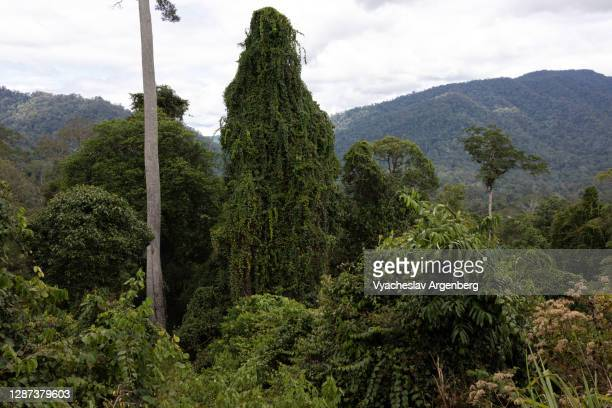 tropical forest, tall trees, borneo, malaysia - argenberg stock pictures, royalty-free photos & images