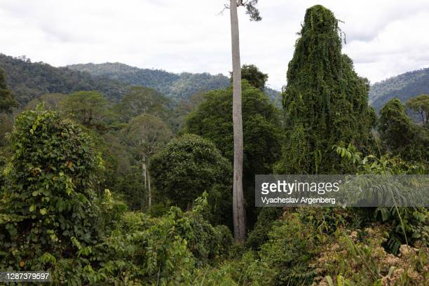 tropical forest, trees, borneo, malaysia - argenberg stock pictures, royalty-free photos & images