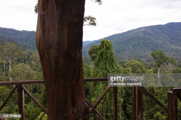 tropical forest, trees, viewing platform, borneo, malaysia - argenberg stock pictures, royalty-free photos & images